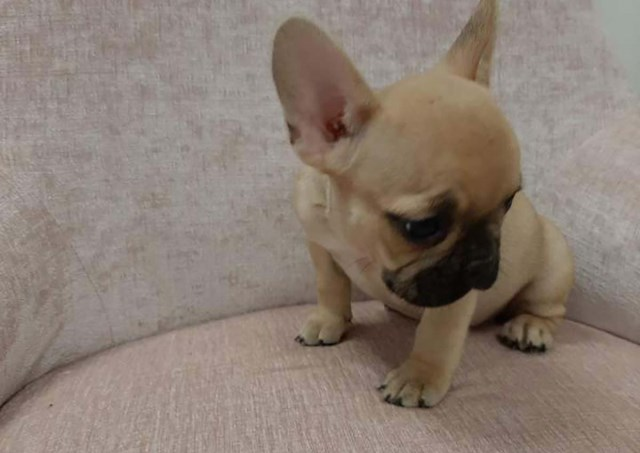 French Bulldog puppy for sale + 59337
