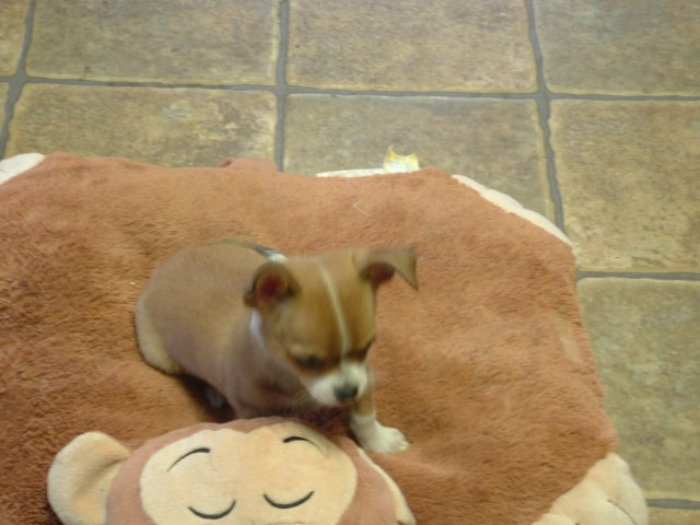 Chihuahua puppy for sale + 48050