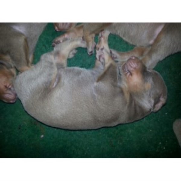 Registered Doberman Puppies
