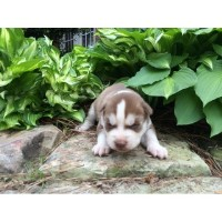 AKC Siberian Husky Puppies For Sale Siberian Husky for sale/adoption