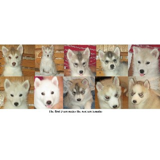 AKC Siberian Husky Puppies Ready Now!!!