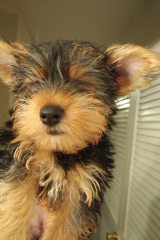 Yorkie puppies just in time for the holidays