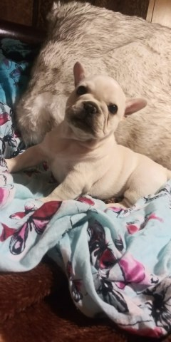 French Bulldog Males and Females