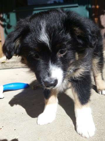 Miniature Australian Shepherd Puppy Dog For Sale In