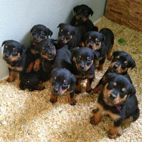 Rottweiler Puppy Dog For Sale In Fresno California