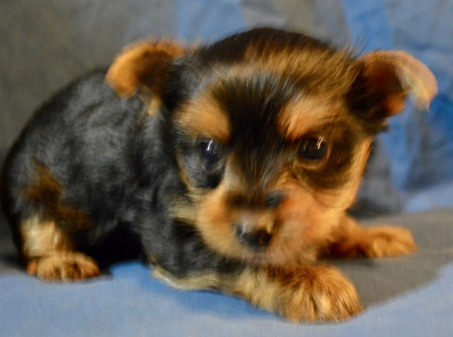 Yorkshire Terrier Puppy Dog For Sale In Greensboro North