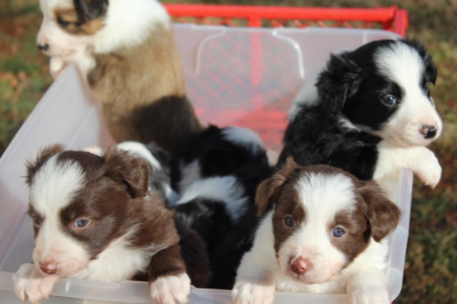 Border Collie puppy for sale + 61428