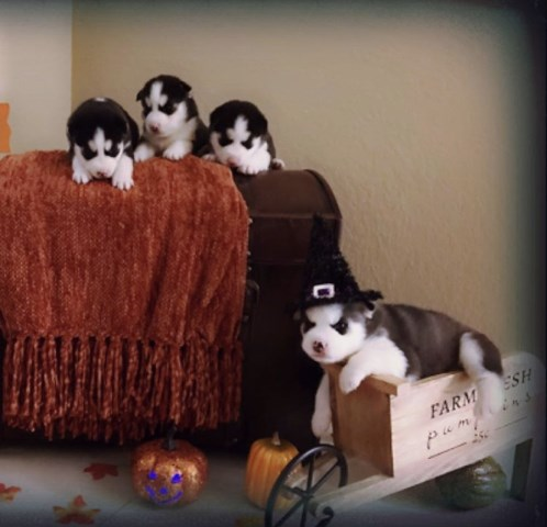 Beautiful  Siberian Husky Puppies black & White Pure Bred