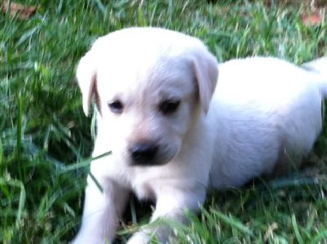 AKC Champagne Labrador Puppies - Papered & Pedigreed *Taking Deposits Now*