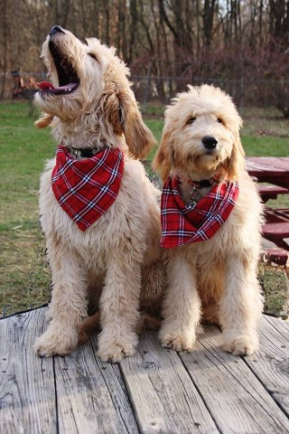 Goldendoodles. Standard size - home raised. Very gentle parents.