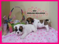 Cute English Bulldog puppies For Adoption Now English Bulldog for sale/adoption