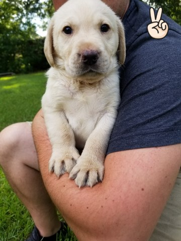 Labrador Retriever puppy for sale + 53625