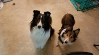 Sheltie Puppies for Christmas! Shetland Sheepdog for sale/adoption