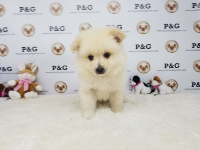 Pomeranian puppy for sale + 53395