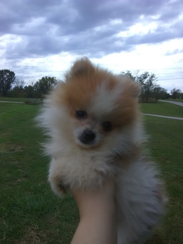Pomeranian puppy for sale + 59789