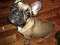 Baxter - French Bulldog Pup French Bulldog for sale/adoption