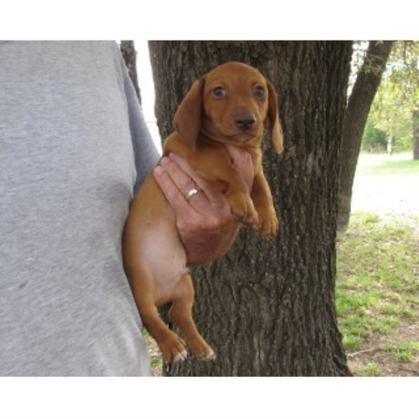 Dachshund puppy dog for sale in Stockdale, Texas