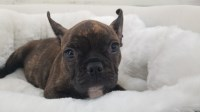 French Bulldog Dogs and Puppies for Adoption