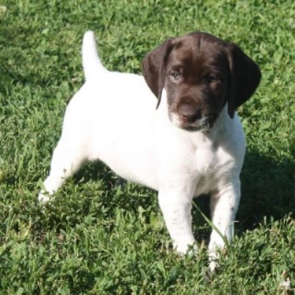 AKC German Shorthaired Pointers