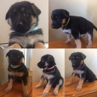 German Shepherd Dog Puppies and Dogs for Sale in Idaho