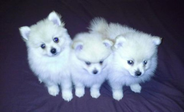TINY T-CUP SIZE POM, YORKIE & MALTESE PUPPIES