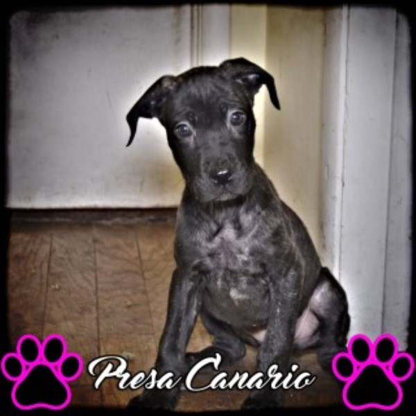 Pressa Canario (mastiff) Perro De Presa Canario for sale/adoption