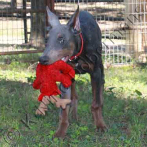 Doberman Pinscher Puppy Dog For Sale In Doberman Puppies For Sale
