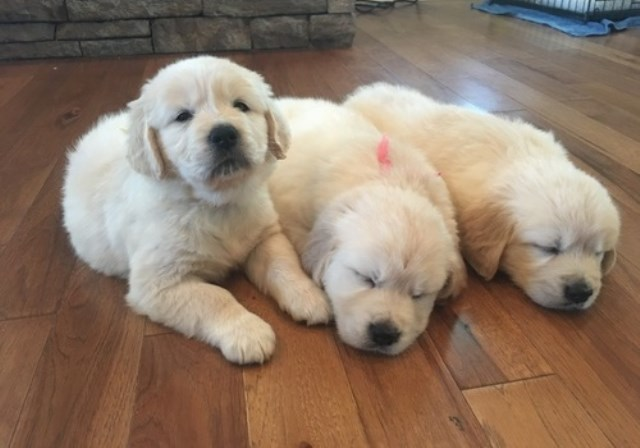 Golden Retriever Puppy Dog For Sale In Los Angeles California
