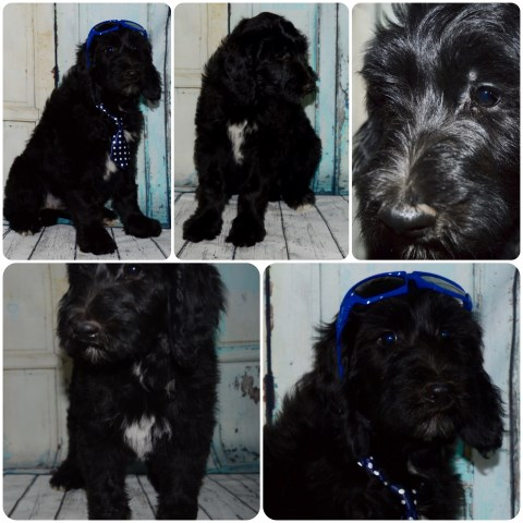 Spanish Water Dog Puppies For Sale Texas