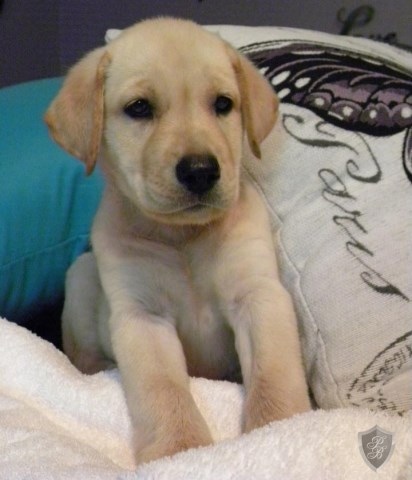 Labrador Retriever Puppy Dog For Sale In Houston Texas