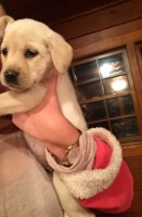 AKC certified yellow lab puppies Labrador Retriever for sale/adoption