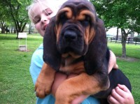 Bloodhound puppy Bloodhound for sale/adoption