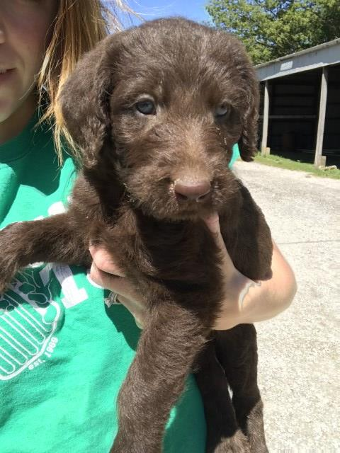 Labradoodle Puppy Dog For Sale In Red Bud Illinois