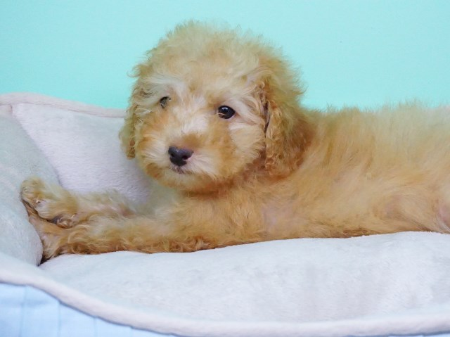 Goldendoodle puppy dog for sale in La Mirada, California