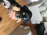 MALE CHIWEENIE FOR SALE Dachshund for sale/adoption