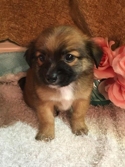 Teacup Registered Morkie Pups