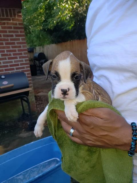 Boxer puppy dog for sale in Mobile, Alabama