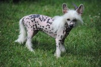 Chinese Crested Dogs and Puppies for Adoption