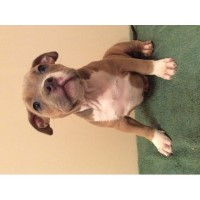 American Bully, 8 Weeks Old, Abkc, Shots, Dewormed, $1500 American Bulldog for sale/adoption