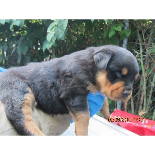 AKC Greman Rottweilers Pups