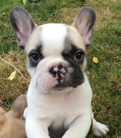 French Bulldog puppy dog for sale in Fort Worth, Texas