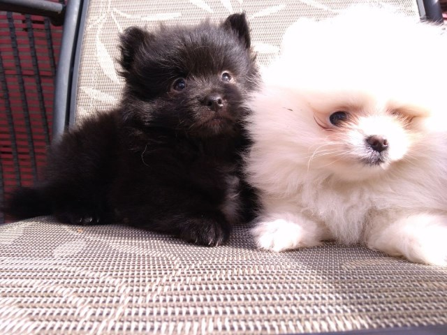 Pomeranian Puppy Dog For Sale In Lancaster Oh Ohio