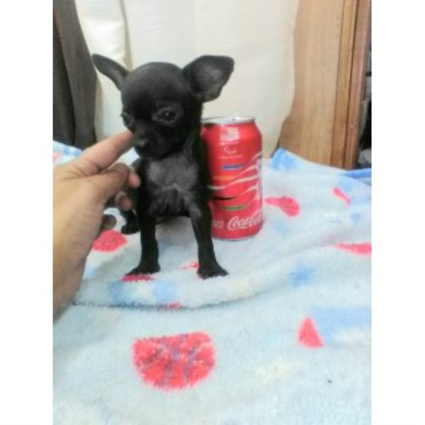 Very Small Chihuahua Puppy Chihuahua for sale/adoption