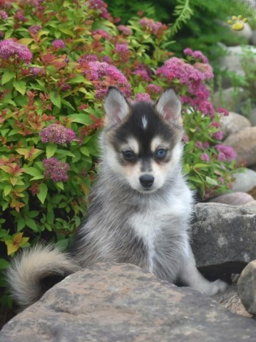 Pomsky Puppy Dog For Sale In Columbus Ohio