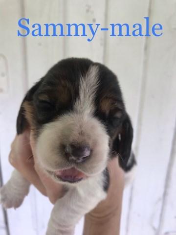 Basset Hound puppy dog for sale in Burnsville, North Carolina