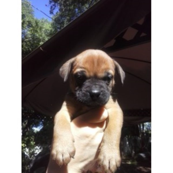 AKC Bullmastiff Pups For Sale Bullmastiff for sale/adoption