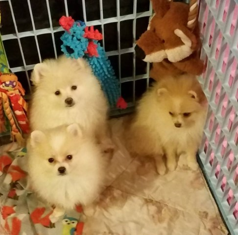 Pomeranian puppy for sale + 54986
