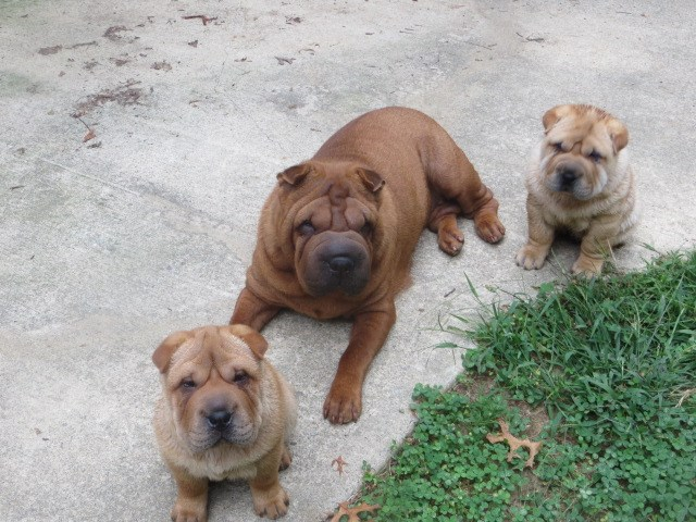 Chinese Shar Pei puppy for sale + 53435
