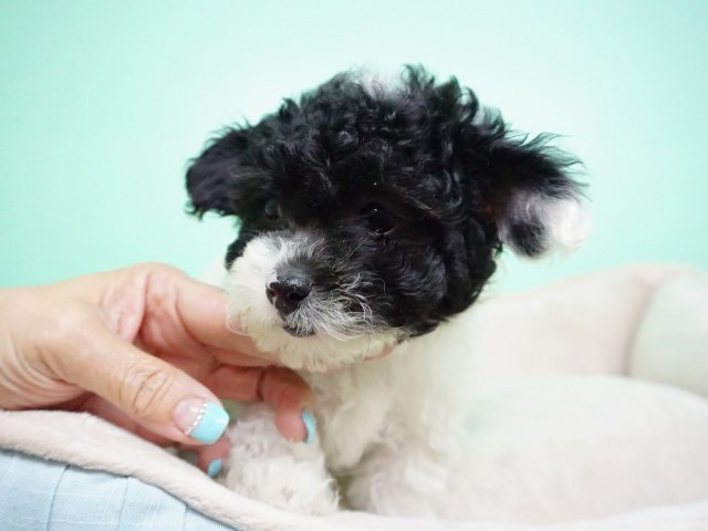 Maltipoo Puppy – Female- Gigi ($1,299)