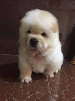Chow Chow Puppies And Dogs For Sale In Illinois